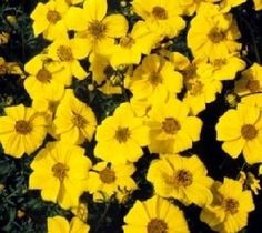 Pase Seeds - Bidens Gold Coins Annual Seeds, $3.29 (http://www.paseseeds.com/bidens-gold-coins-annual-seeds/)
