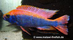 Sciaenochromis fryeri Malawi Cichlids, African Cichlids, Cichlid Aquarium, Aquarium Fish, Tropical Freshwater Fish, Freshwater Aquarium, Tropical Aquarium, Tropical Fish, Victoria Lake
