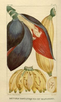 Banana - Musa paradisiaca - circa 1829 ...grass as it is -skirt to Josephine B - lady was a impaccable in attitude !