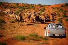 Camels seen in Simpson Desert, Australia Visit Australia, South Australia, Western Australia, Australia Travel, Land Of Oz, Australian Animals, Koh Tao, Beautiful Beaches, That Way