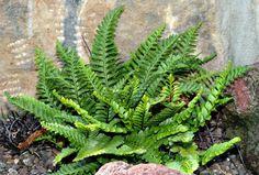 Cactus Planta, Shade Garden, Native Plants, Ferns, Cover Photos, Weed, Flora, Tropical, Landscape