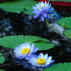 Cheap label label, Buy Quality plant plants directly from China seeds flower seed Suppliers: 5 pcs/bag Blue Sapphire Lotus Flower Seeds ,Rare Color, Perfect Yard Plant, Label: Lotus Chinse Water Lily Lotus Art, Blue Lotus, Lotus Flower Seeds, Lotus Flowers, Bog Plants, Natural Farming, Month Flowers, Aquatic Plants, Water Lilies