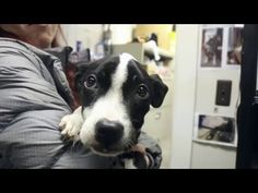 Hanger Was Found In Puppy's Stomach And Then .... - http://www.dogisto.com/a-hanger-in-a-pit-bull-puppys-stomach/