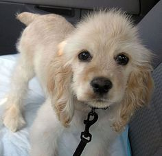 Insane Cuteness - This cocker spaniel puppy has it! http://www.pinterest.com/pin/253960866462812907/