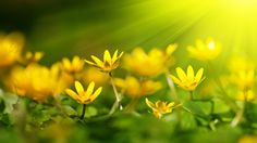 Beautiful yellow flowers wallpaper beautiful yellow flowers like little sunshines mightylinksfo