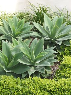 Agave - Every succulent plant, including Agave species, is extremely drought-tolerant thanks to its water storing organs such as root, leaves or stem. Succulent Landscaping, Tropical Landscaping, Landscaping Plants, Tropical Garden, Summer Garden, Types Of Succulents, Cacti And Succulents, Planting Succulents, Planting Flowers