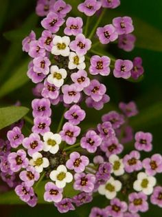 Rock Cress (Arabis alpina subsp. caucasica); in the family Brassicaceae, native to mountainous areas of Europe, North Africa, Central and Eastern Asia and parts of North America. It inhabits damp gravels and screes, often over limestone