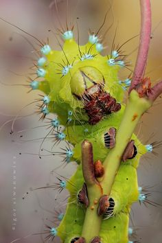 emperor moth's caterpillar