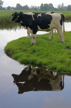 Cow Reflections in Holland Netherlands Farm Animals, Animals And Pets, Cute Animals, Dairy Cattle, Gado, Cute Cows, Down On The Farm, Mundo Animal, Farm Yard