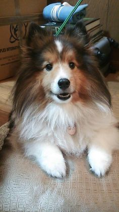 from Sheltie Lovers
