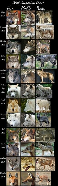 Wolf Comparison Chart by HDevers. A very handy chart comparing most wolf (sub)species. Click the above link for full size. Wolf Spirit, My Spirit Animal, Animals And Pets, Funny Animals, Cute Animals, Wolf Pictures, Animal Pictures, Beautiful Creatures, Animals Beautiful