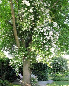 Ramblerrose 'Betty Sheriff' auf Walnussbaum