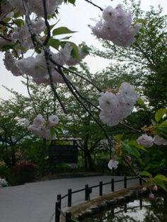 Tokyo - Cerisier en fleurs