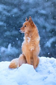 Spitz Dog Breeds, Spitz Dogs, Indian Army Wallpapers, Dog Throw, Pet Life, Hunting Dogs, Totoro, Beautiful Dogs, Dogs And Puppies