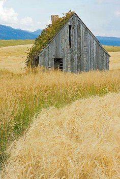 Golden fields of harvest...