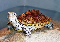 The Diamondback Terrapin Turtle: How Beautiful! The diamondback terrapin or simply terrapin, is a species of turtle native to the brackish coastal swamps of the eastern and southern United States. Land Turtles, Cute Turtles, Ninja Turtles, Sweet Turtles, Turtle Time, Pet Turtle, Turtle Pond, Animals And Pets, Baby Animals
