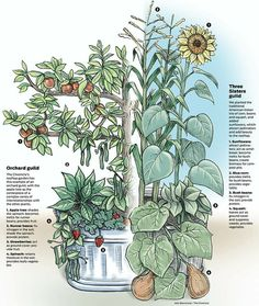 Companion Planting - the Three Sisters guild and Orchard Guild