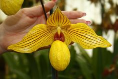 Paph. Dollgoldi - Page 2 - Slippertalk Orchid Forum- The best slipper orchid forum for paph, phrag and other lady slipper orchid discussion!