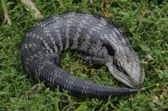 Blue Tongued Lizard | Eats snails, caterpillars and insects