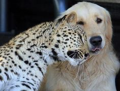 I love when leopards and golden retrievers are BFFs (although the dog doesn't look quite as sure of this friendship as the leopard).