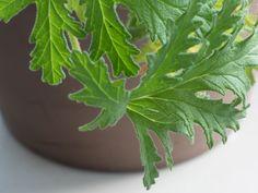 geranium Geraniums, House Plants, Plant Leaves, Flora, Food And Drink, Herbs, Health, Garden, Ds
