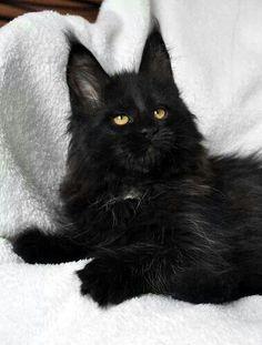 Beautiful black cat! #cutecats