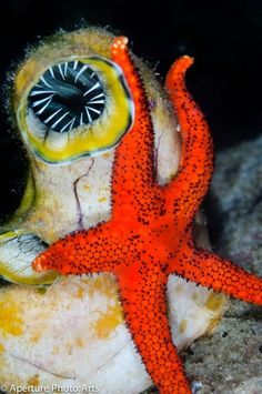 Marie Tartar. Sea squirt and amourous starfish embrace.