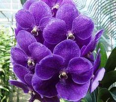 Vanda Prchids | Vanda Orchid