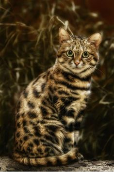 Gorgeous! The black-footed cat (Felis nigripes) is the smallest African cat, and is endemic in the south west arid zone of the southern African subregion.