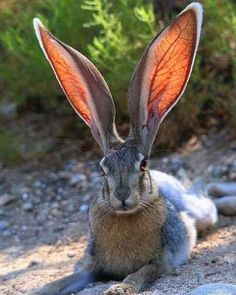 Sun shows the vascular network in this hare's ears