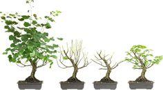 """Résultat de recherche d'images pour """"bonsai tilia"""""""