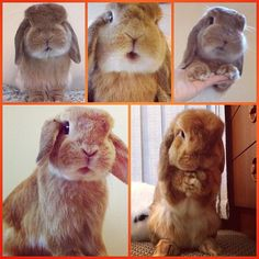 Dear , Please please please can I have a Holland Lop  for Christmas?