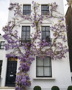 House covered in wisteria in Kensington, London.