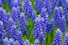 Grape hyacinths are easy to force into bloom indoors. Get how-tos for forcing hyacinth bulbs in pots, Muscari flower care tips, pictures. Blue Hyacinth, Hyacinth Flowers, Flora Flowers, Colorful Flowers, Spring Blooms, Spring Flowers, Photos Free, Old Farmers Almanac, New Year Postcard