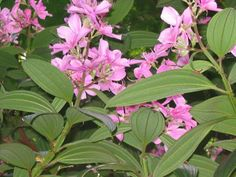 Tibouchina  granulosq, Tibuchina, sietecuernos, Tibouchine, Fleur araignée, flor de la princesa, Princess flowers, purple glory bush, lasiandra