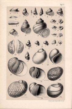 Tabla de conchas de caracol 1909, impresión de caracoles, moluscos gasterópodos acuáticos, conchas Ilustración, impresión antiguo, litografia Vintage, Historia Natural