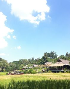 Rice fields at Four Seasons Resort Chiang Mai are turning gold color now!