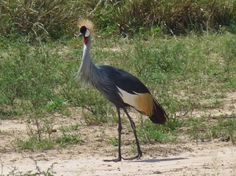 Cranes are always superb in my opinion, and the crowned cranes have ...