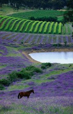 Horse in paddock with rows of vines in background at Mintaro, Australiya ~ photo, John Hay, Lonely Planet Images Lonely Planet, Beautiful World, Beautiful Places, Wonderful Places, Horse Paddock, Vides, Lavender Fields, Lavander, Lavender Blue