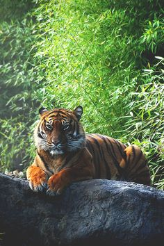 PURE / gorgeous tiger / lounging                                                                                                                                                                                 Plus