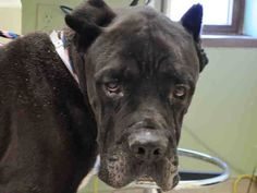 SAFE --- SUPER URGENT 11/2/14 Manhattan Center  GARETH - A1019456   MALE, BLACK / WHITE, CANE CORSO MIX, 9 yrs STRAY - ONHOLDHERE, HOLD FOR ID Reason STRAY  Intake condition GERIATRIC Intake Date 11/02/2014, From NY 10452, DueOut Date 11/05/2014,  https://www.facebook.com/Urgentdeathrowdogs/photos/pb.152876678058553.-2207520000.1415111037./898443890168491/?type=3&theater