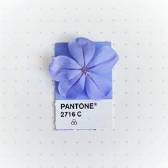 Pantone 2716 color match. Plumbago flower from the back yard.