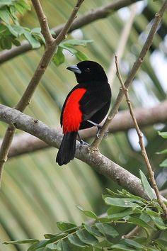 Male Cherries Tanager [Ramphocelus costaricensis], Cano Negro Wildlife Reserve, Costa Rica