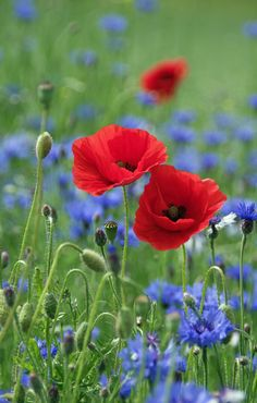 Which spring flowers bloom when? - Corn poppy Papaver rhoeas beautiful spring flowers pictures You are in the right place about garden - Pictures Of Spring Flowers, Flower Pictures, Wild Flowers, Beautiful Flowers, Blooming Flowers, Pastel Flowers, Red Poppies, Belle Photo, Amazing Gardens