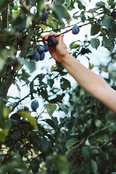 Organic Gardening Supplies Needed For Newbies Picking Damsons Dream Garden, Farm Life, Country Life, Life Is Beautiful, Garden Inspiration, Organic Gardening, Mother Nature, Harvest, In This Moment