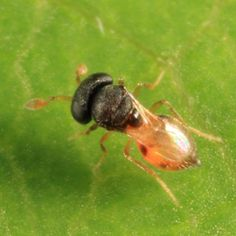 tiny wasp - Idris