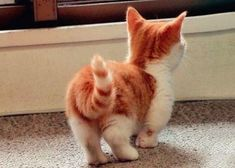 Munchkin kittens are adorable! @Maria Canavello Mrasek Canavello Mrasek Canavello Mrasek Henderson Moore