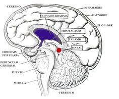 pineal gland gif | manera de un link dentro de nosotros, más exactamente desde nuestra ...