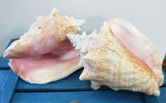 Pink Conch Slit-Back Shell- Queen Conch - California Seashell Company