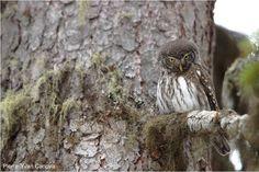 Observer les oiseaux dans le massif du Beaufortain (Savoie) | L'automne est une bonne période pour visiter ce beau massif du nord de la Savoie, notamment pour chercher la Chevêchette d'Europe (photo : Pierre-Yvan Canova) et le Cassenoix moucheté.
